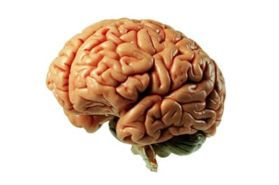 Model of the human brain against a white background to represent our Psychology major