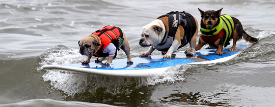 dogs on a surfboard